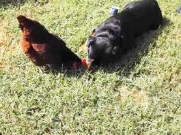 Video divertenti di galline e cani Rottweiler | Tuttosullegalline.it