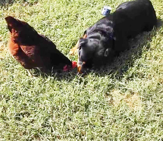 Video divertenti di galline e cani Rottweiler | Tuttosullegalline.it