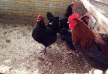 Allevamento amatoriale razze avicole Marans, Brahma, Australorp e Collo nudo