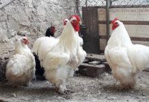 Ca' dei Bartoli | Allevamento amatoriale galline ornamentali e ovaiole