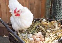 Deposizione delle uova: cos'è, come avviene e consigli utili | Tuttosullegalline.it