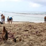 Chicken's beach: alle Hawaii in spiaggia con le galline (Ke'e beach) | Tuttosullegalline.it