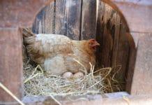 Il Paradiso dei Polli | Allevamento galline ornamentali e ovaiole