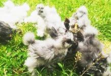 Passione Avicola | Allevamento amatoriale galline ornamentali e ovaiole