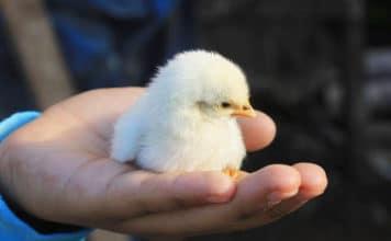 Il miracolo di centinaia di pulcini nati in una discarica | Tuttosullegalline.it