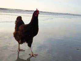 Sammi, la gallina che ama l'oceano | Tuttosullegalline.it