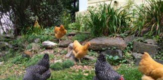 La gallina, repellente naturale contro le zanzare | TuttoSulleGalline.it