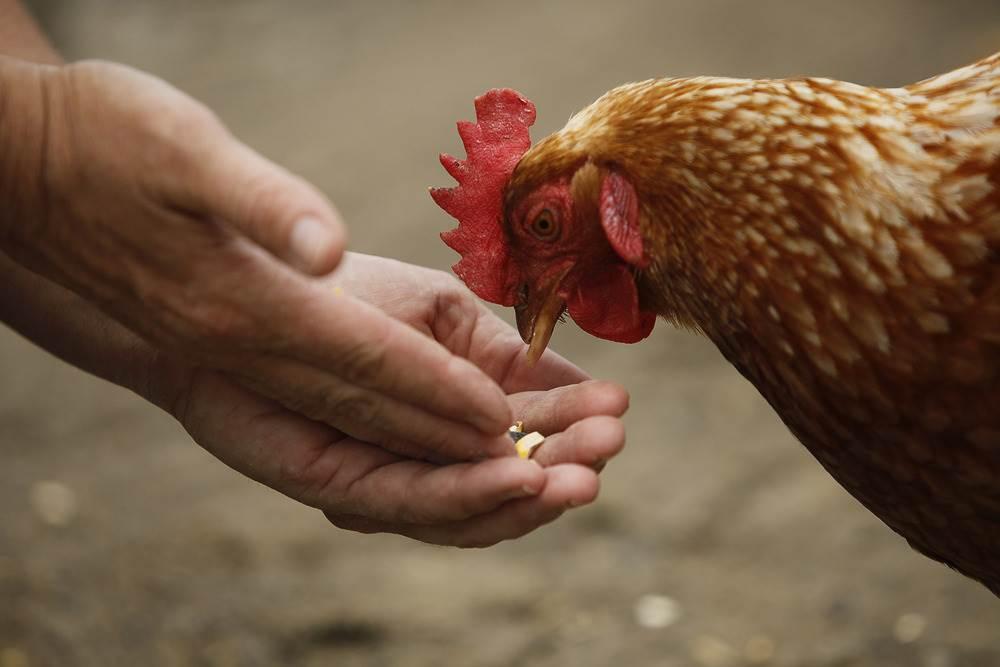 Tutto Sulle Galline - Il Portale per chi cerca informazioni sul mondo delle galline e del pollaio