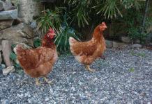 Il cervello delle galline è paragonabile a quello di molti mammiferi | TuttoSulleGalline.it