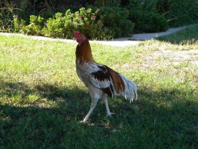 gallina ornamentale koshamo (razza grande) | TuttoSulleGalline.it