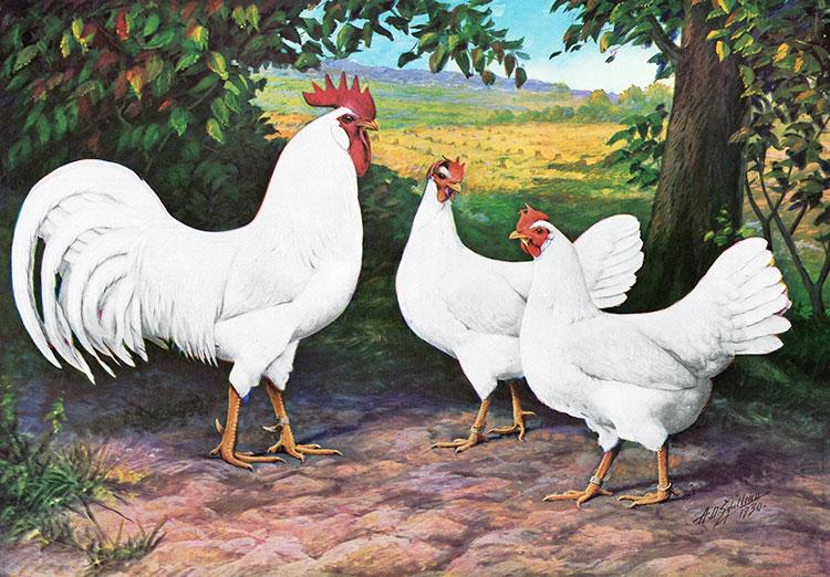 Gallo e galline di razza Livornese (colorazione bianca) rappresentati su una vecchia stampa d'epoca
