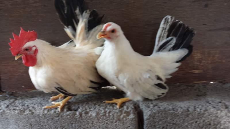 galline ornamentali chabo (razza nana) | TuttoSulleGalline.it