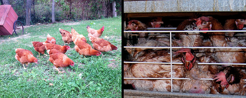 Galline felici vs. Galline allevate in gabbia | TuttoSulleGalline.it