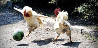 Video divertenti di galline | TuttoSulleGalline.it