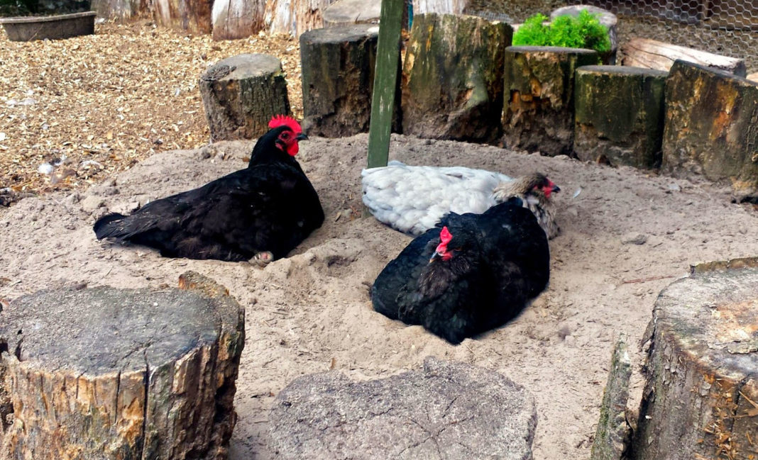 Proprietà Cenere Di Legna bagno di sabbia e cenere (o di terra) per le galline