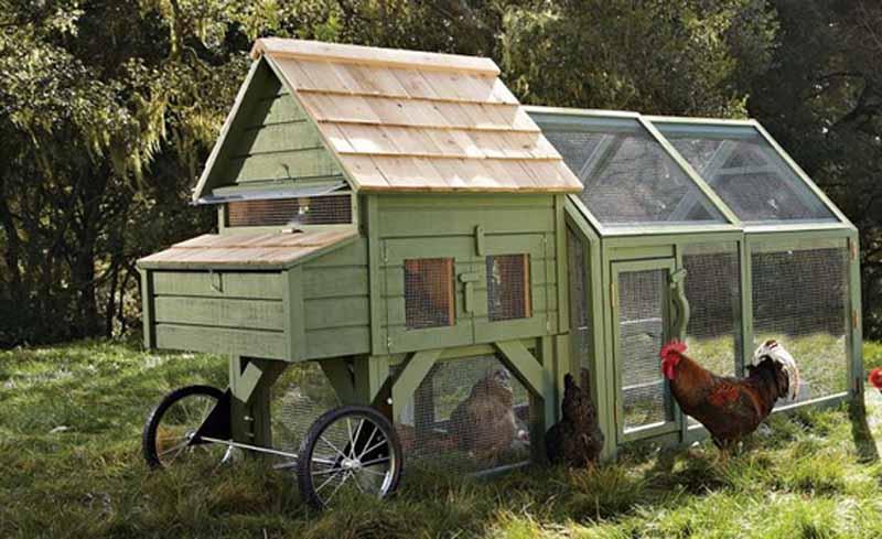 Importante che le galline durante il giorno possano pascolare al di fuori delle piccole recinzioni anche nel caso di pollaio mobili