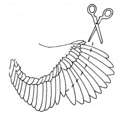 Come effettuare il taglio delle remiganti sulle ali della gallina | TuttoSulleGalline.it