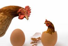 E' nato prima l'uovo o la gallina? | TuttoSulleGalline.it