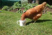 Abbeveratoio per galline: come gestire l'acqua nel pollaio | TuttoSulleGalline.it