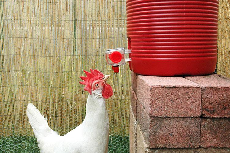 Abbeveratoio per galline a goccia con cisterna da mettere nel pollaio