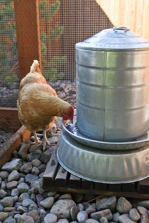 Abbeveratoio per galline con sifone rialzato per pollaio