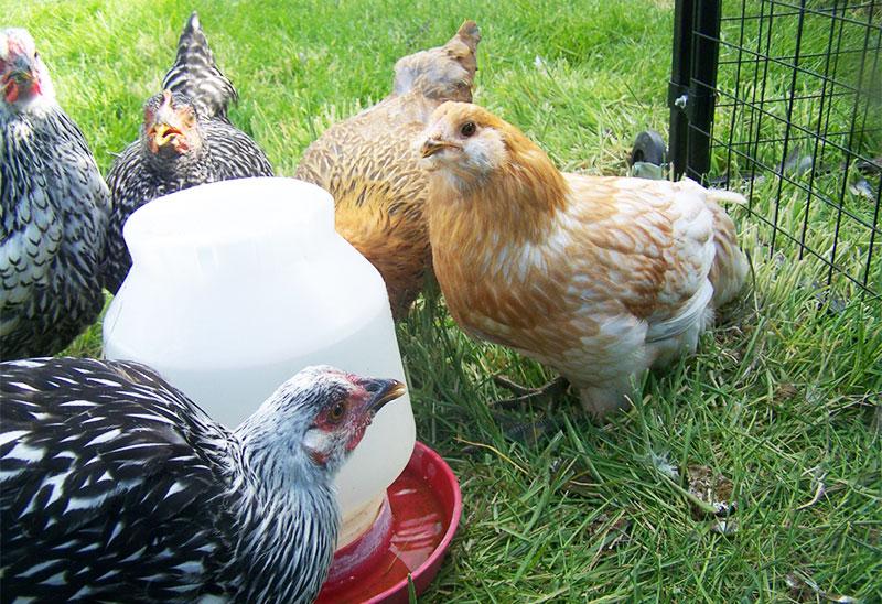 Abbeveratoio con acqua non deve mai mancare alle galline ovaiole