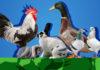 Aia in Fiera 2016: 23° Campionato italiano di avicoltura FIAV - Reggio EMilia   TuttoSulleGalline.it