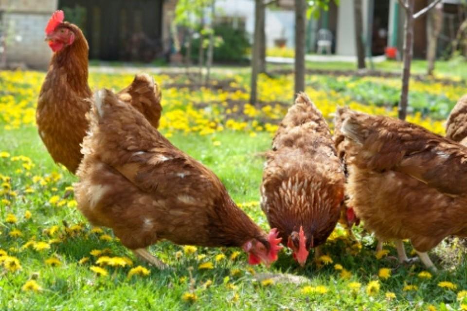 Alimentazione sana delle galline per uova dal guscio duro | TuttoSulleGalline.it