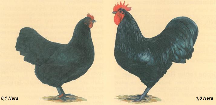 Gallina ovaiola nera e gallo nero australorp in un disegno dello standard italiano FIAV
