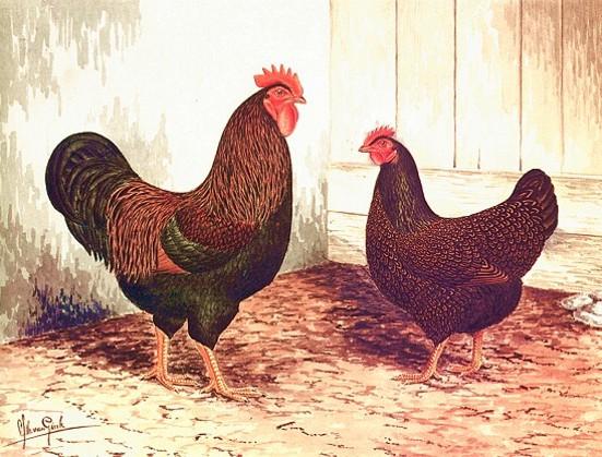 La rappresentazione della gallina ovaiola Barnevelder perfetta (opera Van Gink)