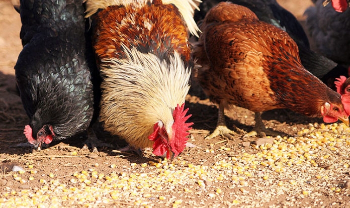 La corretta alimentazione delle galline ovaiole: cosa devono mangiare | Tuttosullegalline.it