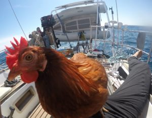 Gallina Monique fa il giro del mondo in barca a vela | TuttoSulleGalline.it