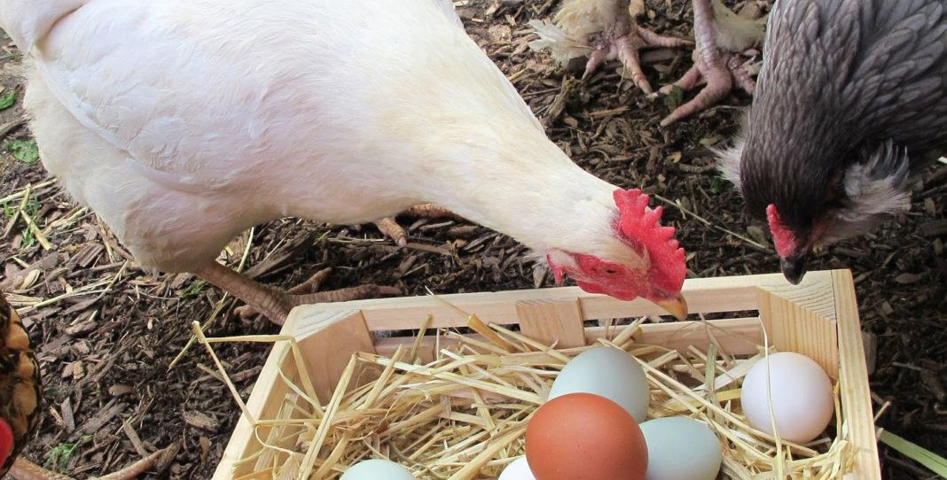 Galline mangiano le loro uova: perchè lo fanno e come evitarlo | TuttoSulleGalline.it