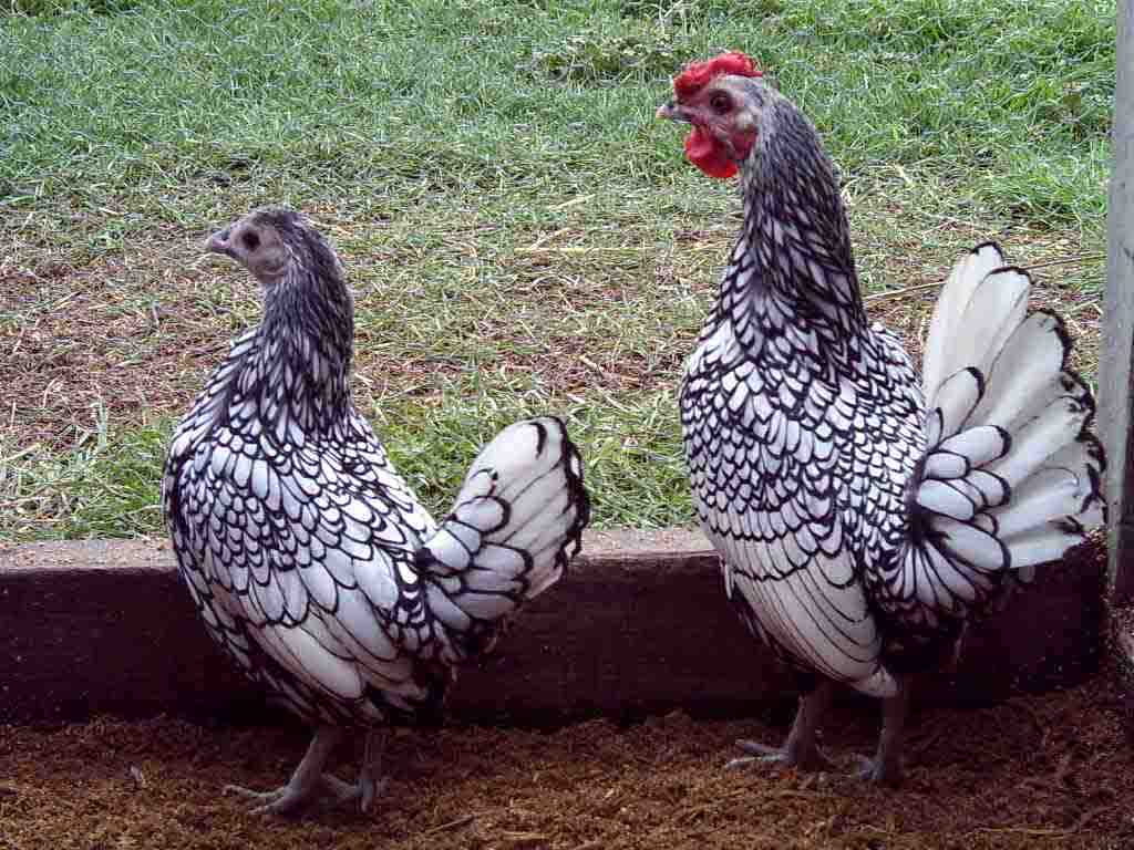 Galline ornamentali bantam - sebright