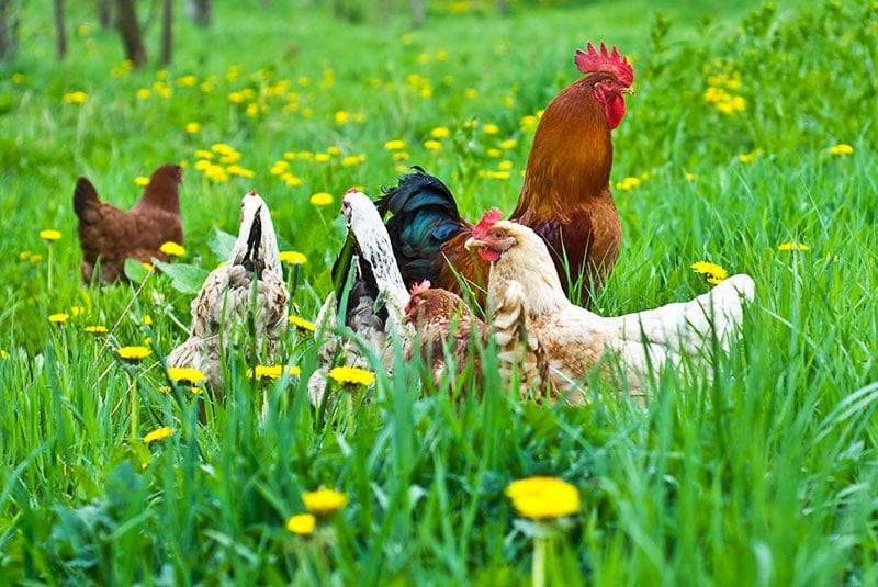 Galline ovaiole che razzolano libere nel pascolo d'erba verde per trovare da mangiare