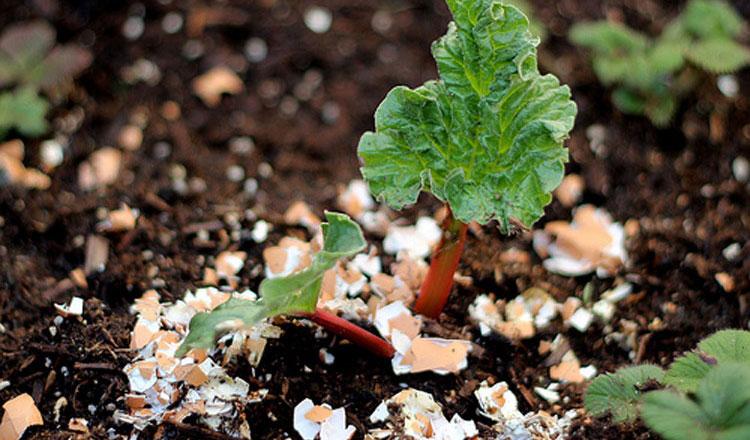 Guscio d'uovo da utilizzare nell'orto e per i pomodori