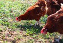 Mangimi per galline ovaiole | TuttoSulleGalline.it