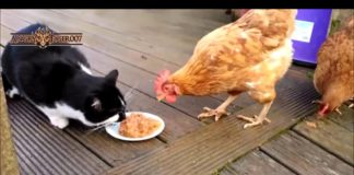 Video divertente di galline che rubano il cibo a gatti e cani | TuttoSulleGalline.it