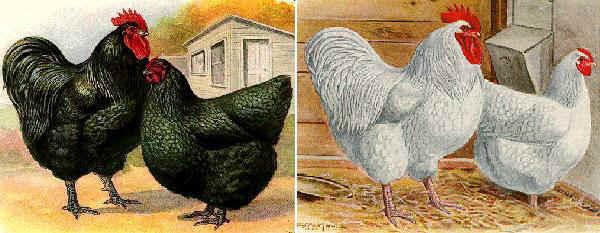 Gallina Orpington nera e Orpington bianca [disegni]
