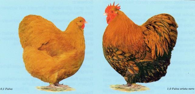 Esemplare di gallina fulva e gallo fulvo di razza ornamentale Orpington