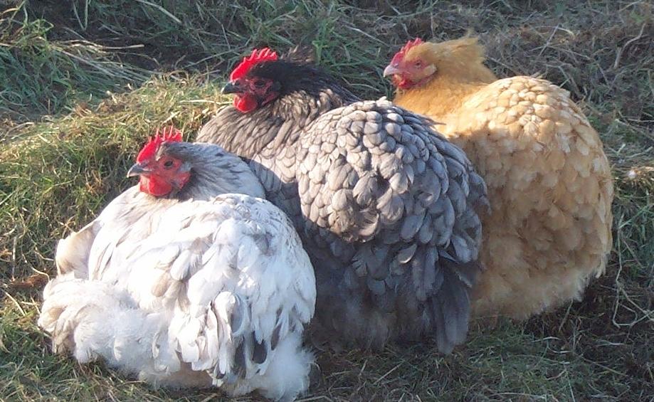 I vari colori (nera, bianca e fulva) delle galline ornamentali Orpington.