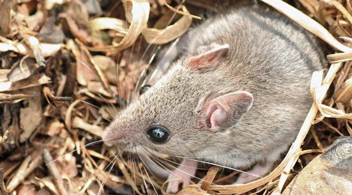 Pollaio Infestato Da Topi O Ratti Ecco Come Eliminarli Anche Con