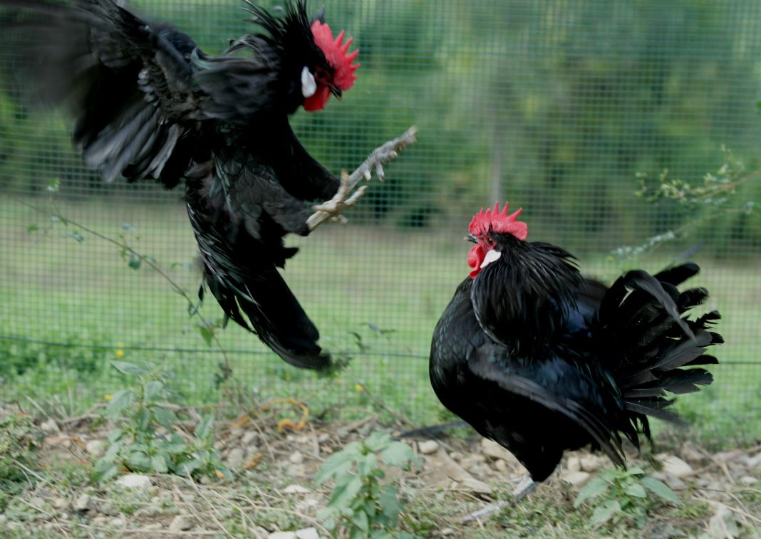 Galli di razza Valdarno nera