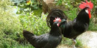 La gallina ovaiola nera del Valdarno   TuttoSulleGalline.it