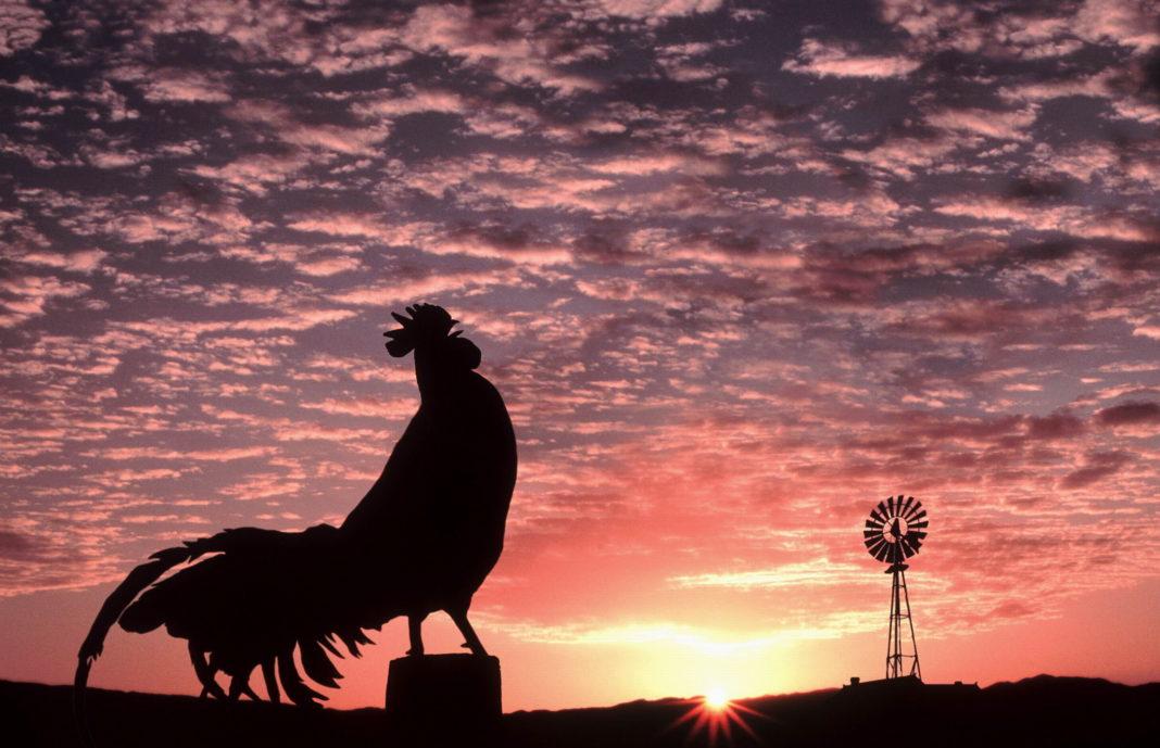 Il canto del gallo all'alba