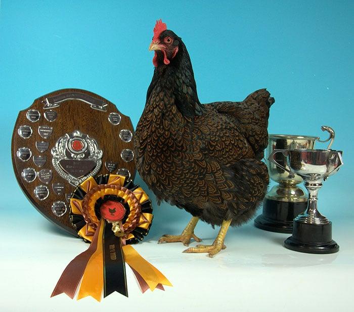 Premi e riconoscimenti per la gallina ovaiola Barnevelder