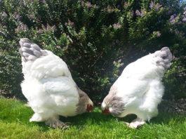 Brahma: galline ornamentali giganti di origine asiatica | Tuttosullegalline.it