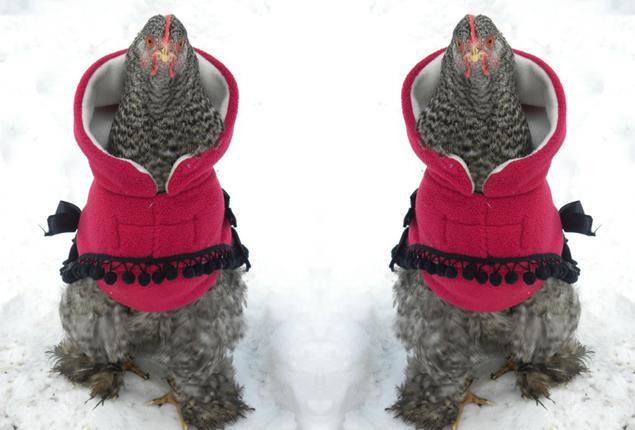 Galline si tengono al caldo indossando una felpina