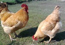 Galline ovaiole: come riconoscere una buona produttrice di uova | TuttoSulleGalline.it