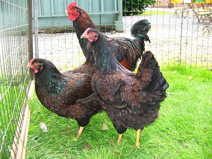 Alcuni esemplari di gallina ovaiola Barnevelder
